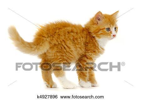 Stock Images Of Sweet Cat Kitten Standing On White Background