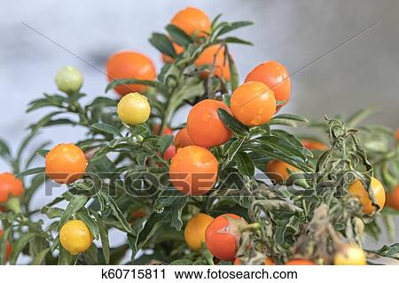 Solanum Plant With Orange Berries Stock Image K60715811 Fotosearch