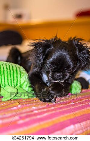 Pekinese Hund Bild