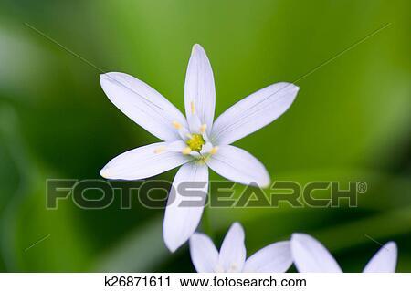 Fiori Primaverili Bianchi.Fiori Bianchi Primavera Starflower Archivio Immagini K26871611