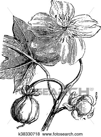 Clip Art Of Fromager Or Kapok Tree Or Ceiba Pentandra K38330718
