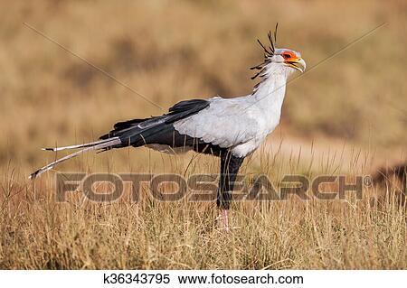 Oiseau Secretaire Sagittarius Serpentarius Grand Plan Afrique Banques De Photographies K36343795 Fotosearch