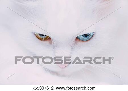 81d8d182e7 Stock Photo - Portrait of turkish van cat.. Fotosearch - Search Stock  Photography
