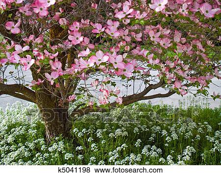 Pictures of pink blooms adorn a dogwood tree in spring k5041198 picture pink blooms adorn a dogwood tree in spring fotosearch search stock photos mightylinksfo