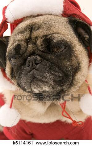 Mops Bilder Weihnachten.Mops Angezogene In Weihnachten Kostüm Stock Fotografie