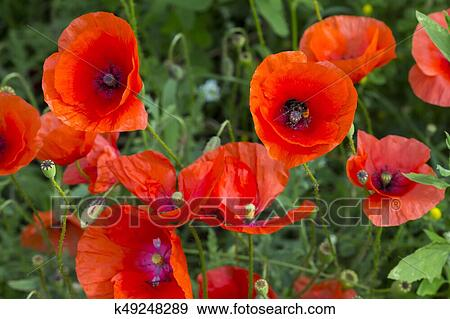 Stock photograph of opium poppy papaver somniferum flower k49248289 field of corn poppy flowers papaver rhoeas in spring mightylinksfo