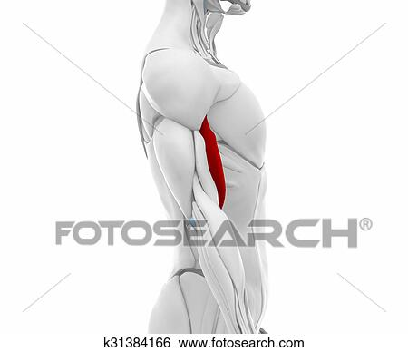 Stock Illustration of Biceps brachii - Muscles anatomy map k31384166 ...