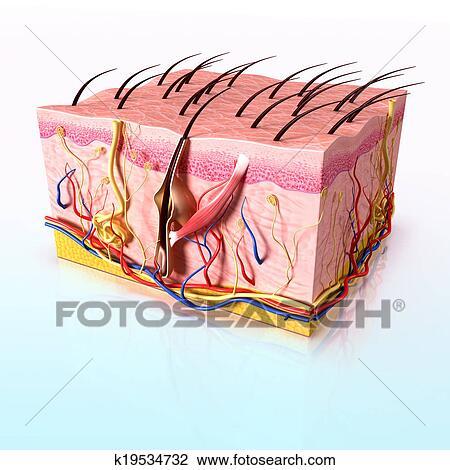 Clip Art Of Human Hair Follicles Anatomy K19534732 Search Clipart