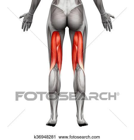 Clipart - ligamentos de la corva, músculos, -, anatomía, músculo ...