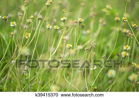 Stock Photography Of Little White Flower With Yellow Pollen Little