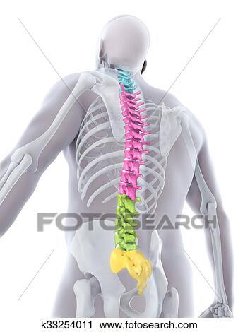 Clipart - humano, macho, espina dorsal, anatomía k33254011 - Buscar ...