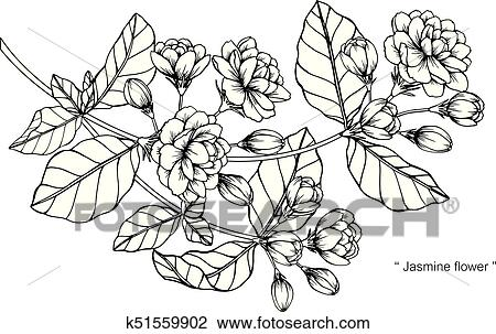 Jasmine Flower Drawing And Sketch With Black And White Line Art