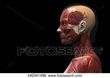 Pictures Of Human Body Anatomy Of A Female K40341498 Search Stock