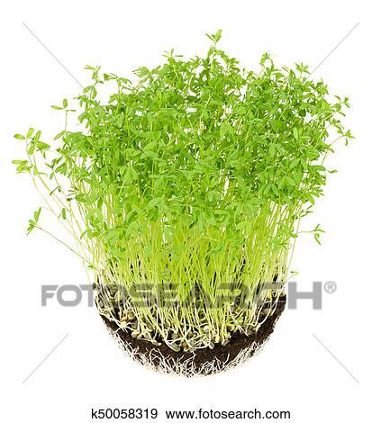 colección de fotografía - le puy, lenteja verde, plantas de