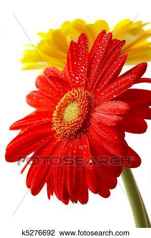 Rosso Giallo Fiore Su Uno Sfondo Bianco Archivio Immagini