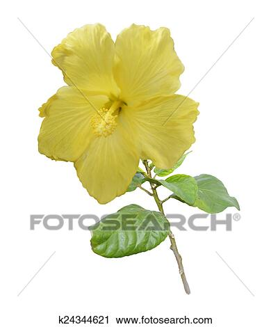 Yellow Hibiscus Flower Clip Art K24344621 Fotosearch