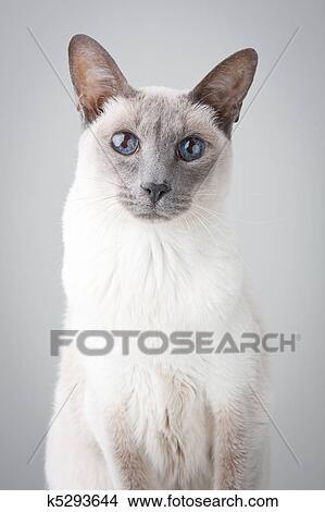 Gatto Siamese Sfondo Grigio Immagine K5293644 Fotosearch