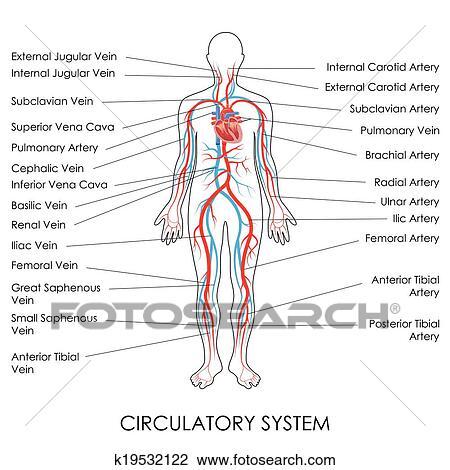 Clipart - sistema circulatorio k19532122 - Buscar Clip Art ...