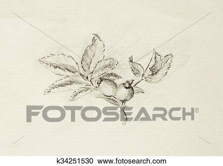 Stock Illustrationen Bleistift Zeichnen Auf Alt Papier Rose