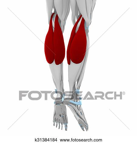Drawings Of Gastrocnemius Muscles Anatomy Map K31384184 Search