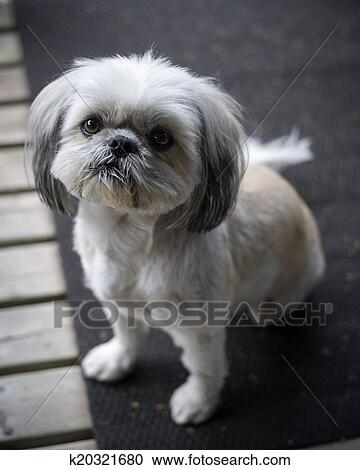 Stock Photography Of Cute Little Shih Tzu Puppy Looks Up Into