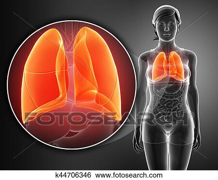 Stock Illustration of Human respiratory system with lungs k44706346 ...