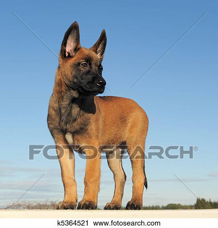 Chiot Malinois Banque D Image K5364521 Fotosearch