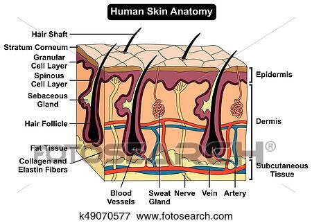 Clip Art - cuerpo humano, piel, anatomía, diagrama k49070577 ...