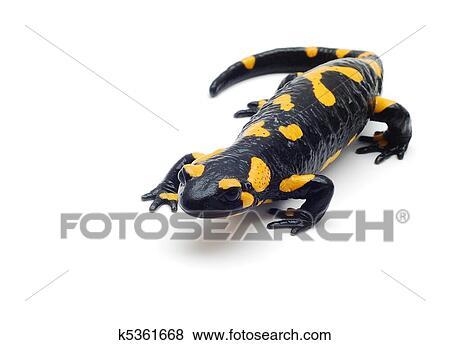 La salamandra che sembra un cartone animato e in via di