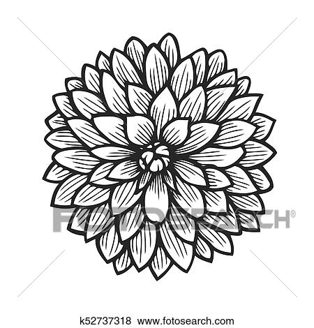 Hand Drawn Chamomile Clip Art K52737318