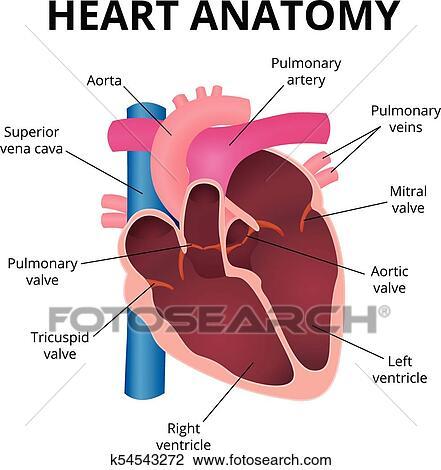 Clipart - anatomía, de, el, corazón humano k54543272 - Buscar Clip ...