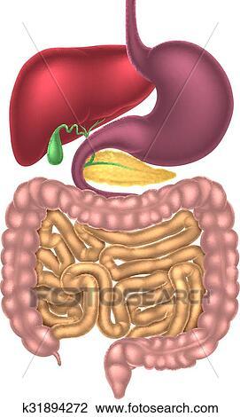clipart alimentar canal sistema digestivo k31894272 busca de