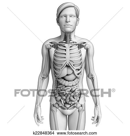 Drawings of Digestive system of male anatomy k22848364 - Search Clip ...