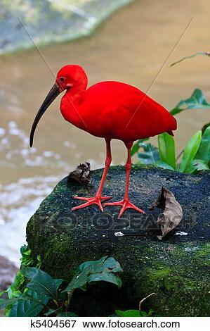 rouges, ibis, oiseau, près, les, eau banque de photo   k5404567