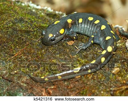 Foto salamandra immagini e vettoriali