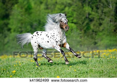 stock photograph of appaloosa horse runs gallop on the meadow in