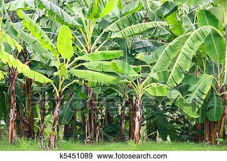 Stock Photograph Of Banana Tree K5451089 Search Stock Photography