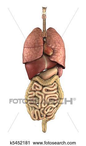 Clipart Of Human Anatomy Internal Organs K5452181 Search Clip Art