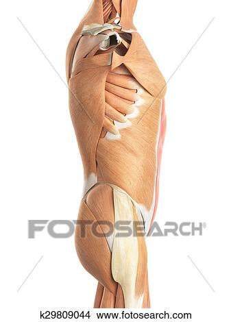 Drawings Of The Rectus Abdominis K29809044 Search Clip Art