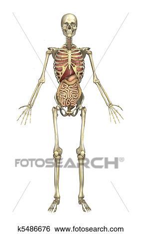 Stock Illustration - männlich, skelett, mit, innere organe k5486676 ...