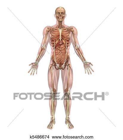 Zeichnungen - männlich, skelett, und, innere organe, mit, muskeln ...