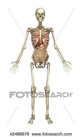 diagram of male skeleton male skeleton with internal organs stock illustration k5486676  internal organs stock illustration