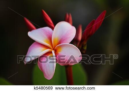 Plumeria Fleur Couleur Rose Banque D Illustrations K5480569