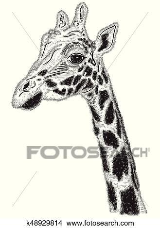 Clipart Of Black And White Portrait Of Giraffe K48929814 Search