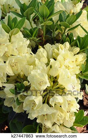 Yellow Flower Heads Of Rhododendron Stock Image K27447863