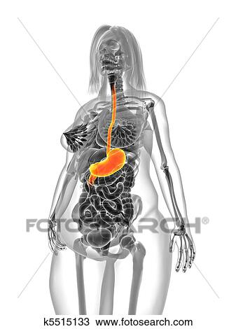 Drawing Of Overweight Female Stomach K5515133 Search Clipart