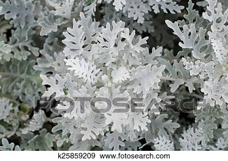 Stock Photograph Of Top View Of Dusty Miller Plant K25859209