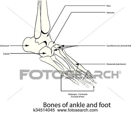 Clipart - huesos, de, tobillo, y, pie k34514045 - Buscar Clip Art ...