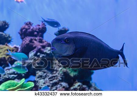 Bignose Unicornfish Known As Naso Vlamingii Stock Photo K43332437