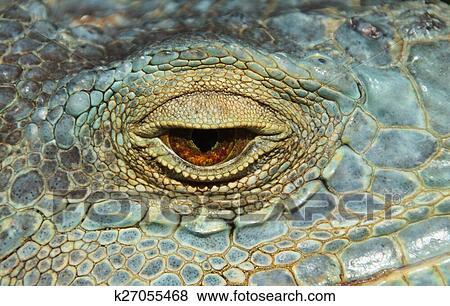 Image - oeil, de, a, caméléon, reptile. Fotosearch - Recherchez des Photos, des Images, des Photographies et des Images Cliparts